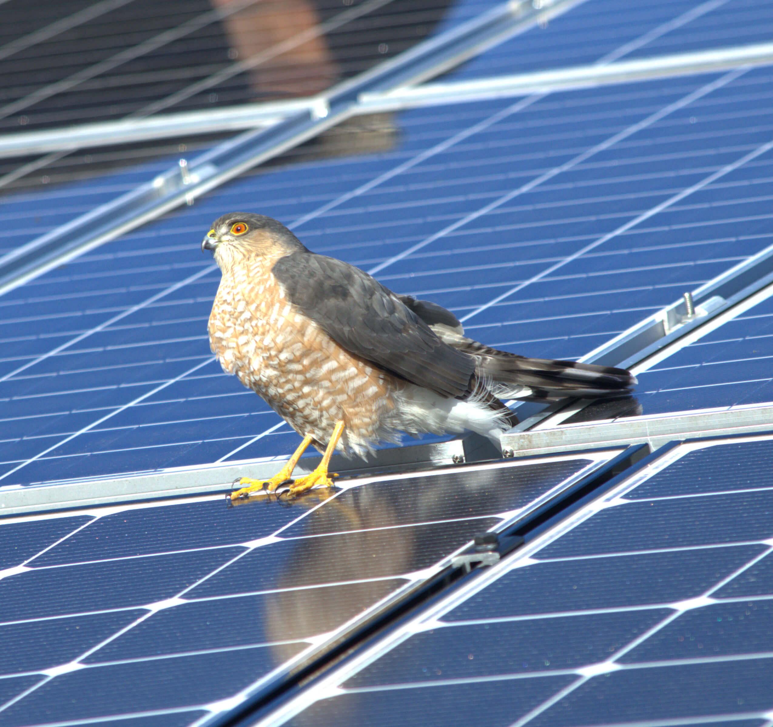 brockton massachusetts greater boston residential solar installation my generation energy sharp-shinned hawk