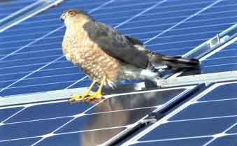 My Generation Energy Brockton MA Hawk on Solar Panels